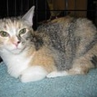 Domestic Shorthair Cat for adoption in Arlington, Texas - Scittles