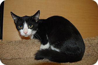 Domestic Shorthair Kitten for adoption in Whittier, California - Brittany