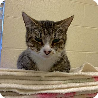 Domestic Shorthair Cat for adoption in Twin Falls, Idaho - Shauny