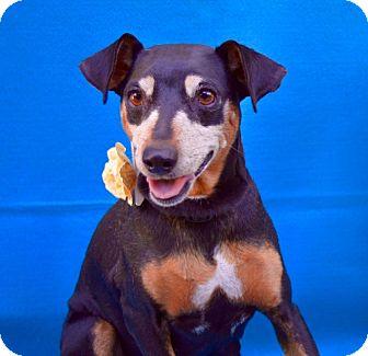 Manchester Terrier/Miniature Pinscher Mix Dog for adoption in Irvine, California - Leilani Kai