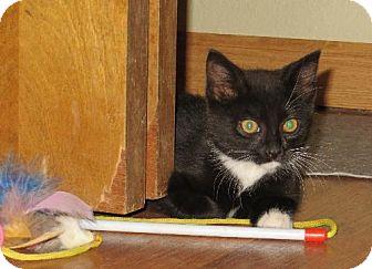 Domestic Mediumhair Kitten for adoption in Vacaville, California - Louie