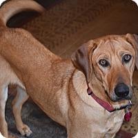 Adopt A Pet :: *Maggeroni - PENDING - Westport, CT
