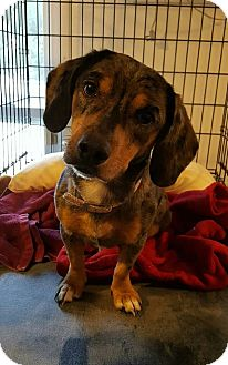 Dachshund Mix Dog for adoption in Hanna City, Illinois - Susie-adoption pending