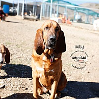 Adopt A Pet :: Daisy - Acton, CA
