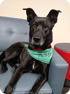 Labrador Retriever/Shepherd (Unknown Type) Mix Dog for adoption in Grand Rapids, Michigan - King