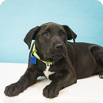 Labrador Retriever Mix Puppy for adoption in Houston, Texas - Reba