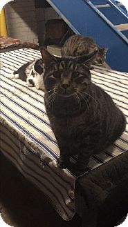 Domestic Shorthair Cat for adoption in Cleveland, Ohio - Jupiter