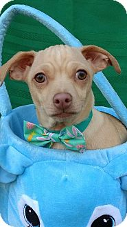 Chihuahua Mix Puppy for adoption in Rising Sun, Maryland - Caramello