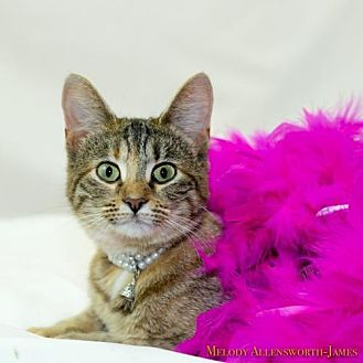 Domestic Shorthair Kitten for adoption in Glastonbury, Connecticut - Princess