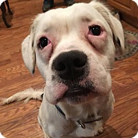 Boxer Mix Puppy for adoption in Sugar Grove, Illinois - Dakota