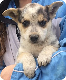 Australian Cattle Dog/Shepherd (Unknown Type) Mix Puppy for adoption in West Sand Lake, New York - Ranger (6 lb) Video