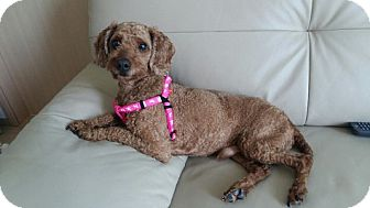 Poodle (Miniature) Mix Dog for adoption in Ft Collins, Colorado - Charlie at a foster home