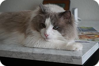 Ragdoll Cat for adoption in Parker, Colorado - Bailey