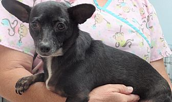 Dachshund/Chihuahua Mix Dog for adoption in Inland Empire, California - GIA