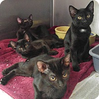 Domestic Shorthair Kitten for adoption in Colonial Heights, Virginia - Ebony, Ivory, Harmony