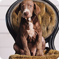 Adopt A Pet :: Ron Weasley - Portland, OR