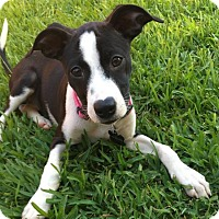Adopt A Pet :: Rosie - McKinney, TX