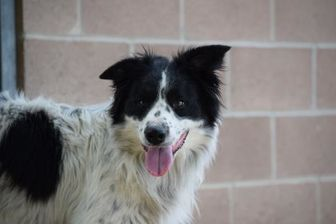 Border Collie Mix Dog for adoption in Heber City, Utah - Lucky