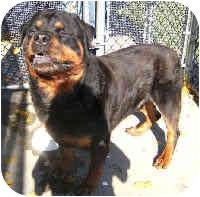 Rottweiler Dog for adoption in Oswego, Illinois - GUS