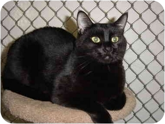 "Domestic Shorthair Cat for adoption in Woodland, Washington - Vivian -  A ""Closet"" Extrovert"