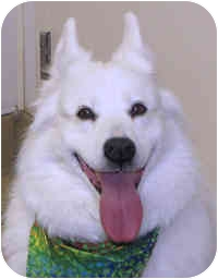 American Eskimo Dog Mix Dog for adoption in Eatontown, New Jersey - Shadow