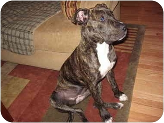 American Pit Bull Terrier Mix Puppy for adoption in Reisterstown, Maryland - Sasha