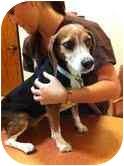Beagle Mix Dog for adoption in Phoenix, Arizona - Abby June