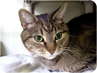 Domestic Shorthair Cat for adoption in Chicago, Illinois - Cato