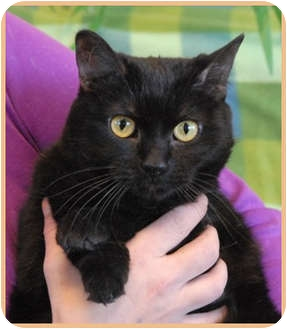 Domestic Shorthair Cat for adoption in Las Vegas, Nevada - Fruity Pebbles