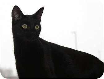Domestic Shorthair Cat for adoption in Berlin, Connecticut - Bagheera
