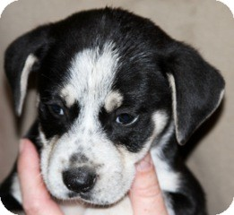Beagle/Terrier (Unknown Type, Medium) Mix Puppy for adoption in Smithfield, North Carolina - Henry