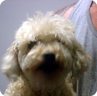 Poodle (Miniature)/Lhasa Apso Mix Dog for adoption in Manassas, Virginia - Beth