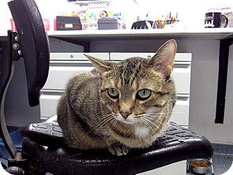 Domestic Shorthair Cat for adoption in Chicago, Illinois - Pella