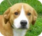 Labrador Retriever/Collie Mix Dog for adoption in Lincolnton, North Carolina - Snoopy