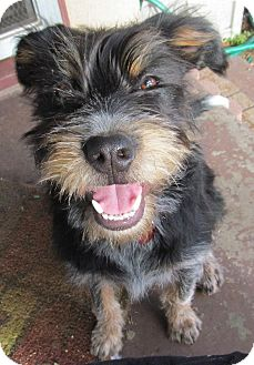 Cavalier King Charles Spaniel/Airedale Terrier Mix Puppy for adoption in Torrance, California - FRIDA