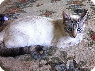 Siamese Cat for adoption in Tarboro, North Carolina - Mary