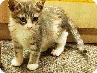 Domestic Shorthair Kitten for adoption in Trevose, Pennsylvania - Frangelica