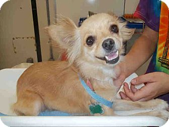 Chihuahua Dog for adoption in Simi Valley, California - Little lady