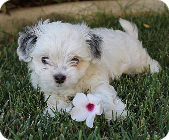 Cockapoo/Shih Tzu Mix Puppy for adoption in La Habra Heights, California - Peeta