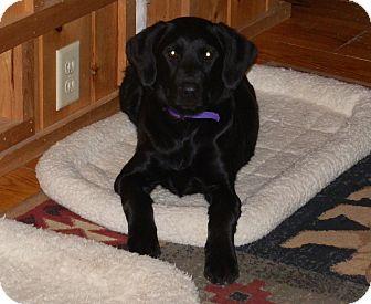 Labrador Retriever Mix Puppy for adoption in North Haverhill, New Hampshire - Presley