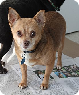 Chihuahua Mix Dog for adoption in LaGrange, Kentucky - TUFFY