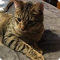 Adopt A Pet :: Tiny Tim - Colorado Springs, CO