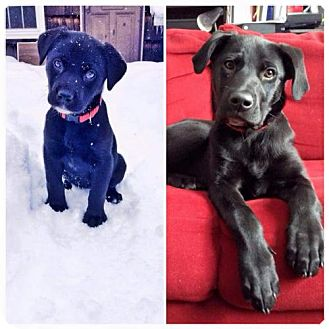 Labrador Retriever Mix Puppy for adoption in Kenmore, New York - Raven