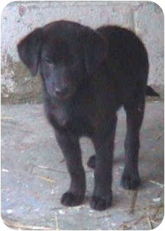 Labrador Retriever Mix Puppy for adoption in Buffalo, New York - Regis