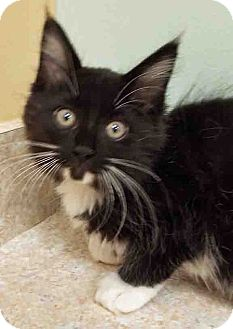 Domestic Mediumhair Kitten for adoption in Hinsdale, Illinois - ADOPTED!!! Herman