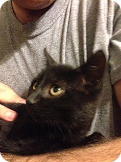 American Shorthair Kitten for adoption in Brooklyn, New York - Lil Ebony