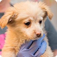 Adopt A Pet :: Rylee - Minneapolis, MN