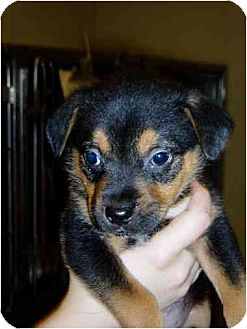 Shepherd (Unknown Type) Mix Puppy for adoption in Lavon, Texas - Shimmer & Sky