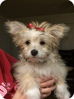 Maltese/Pomeranian Mix Puppy for adoption in Raleigh, North Carolina - LACEY