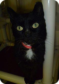Domestic Shorthair Cat for adoption in Hamburg, New York - Midnight